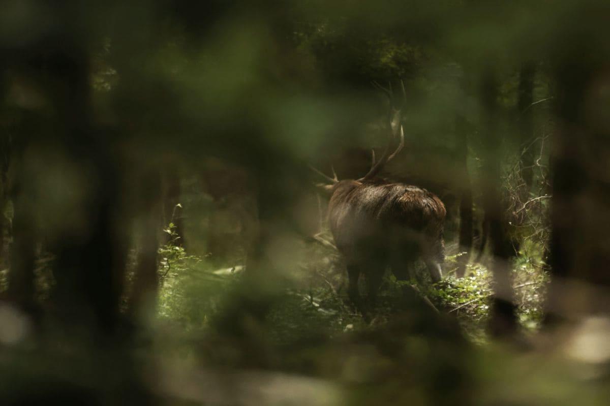 самый красивый олень во Франции