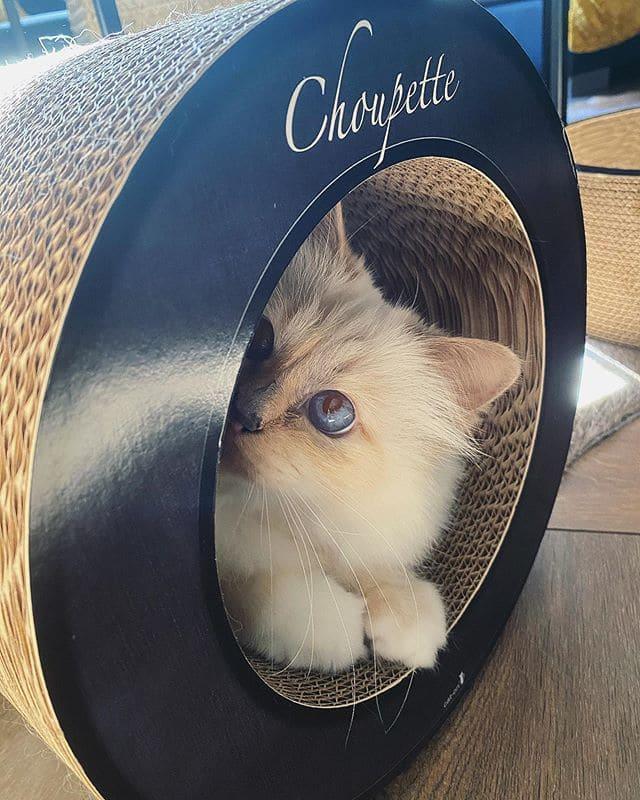 шупетт кошка